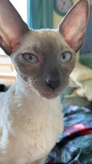 Cornish Rex Kitten mit blauen