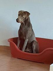 Labrador Deckrüde Silber mit Zuchtzulassung