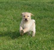 Labrador Welpen in gelb blond