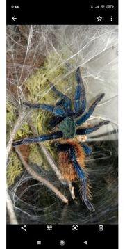 Vogelspinnen Restbestand abzugeben