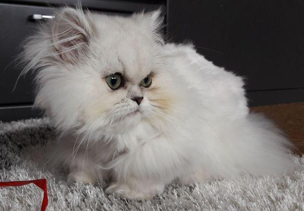 Reinrassige Perser Katze » Katzen