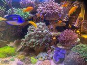 Korallen Meerwasser LPS SPS Zoas