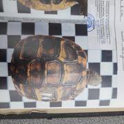 Kleine Landschildkröten direkt vom Züchter
