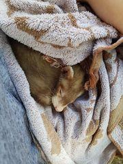 Frettchen Welpen Iltis
