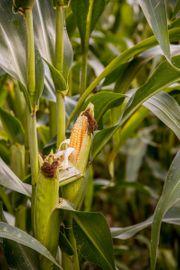 Suche frische Maiskolben