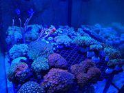 Meerwasser Korallen Zoanthus Bartkorallen Indo
