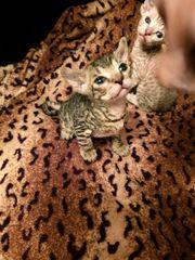 Bildhübsche Don Sphynx Kitten