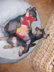 3 süße Hundewelpen