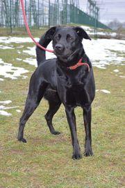 JACKY Labrador-Schäferhund-Mischling kastriert SG 350