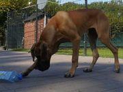 Deutsche Dogge - Junghund -