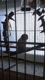 2 Agaporniden-Unzertrennliche-Liebesvögel