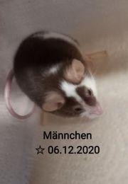 Mäuse Männchen