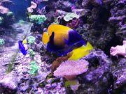 Navachus Traumkaiserfisch