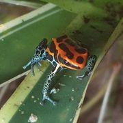 Ranitomeya Amazonica Frösche Dendrobaten Frosch