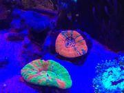 Scolymia Korallen