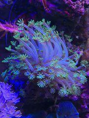 Koralle Alveopora Ableger grün weiß