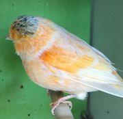 Norwich Kanarienvögel