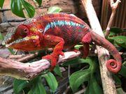 Pantherchamäleon Furcifer pardalis Ambilobe red