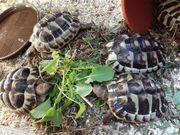 Griechische Landschildkröten Nachzuchten von 2019