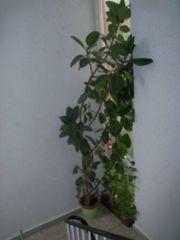 Gummibaum Ficus elastica