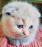 Scottish Fold BKH Kitten Kätzchen