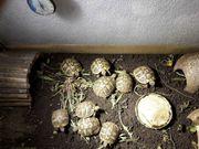 Nachzuchten griechische Landschildkröten Thb Ostrasse