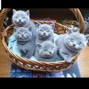 BKH Britischkurzhaar kitten
