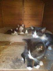 7 wunderschöne Kätzchen zu verkaufen