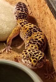 2 Leopardgecko Damen mit Terrarium