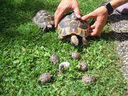 Schildkrötenbabys zu verkaufen