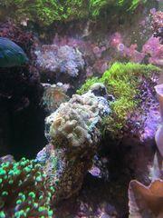 ricordea florida Meerwasser Korallen scheiben