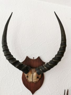 Bild 4 - Geweihe von afrikanischen Tieren und - Sömmerda Gartenberg