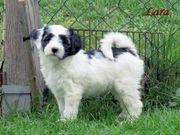 Tibet Terrier Welpen 1 Rüde