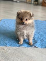Pomeranian Zwergspitz Welpe Rüde