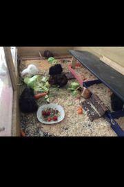 Betreuung Kleintiere Meerschweinchen Urlaub Ferien