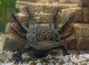 Axolotl aus eigener Zucht BD