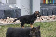 Altdeutsche Schaeferhunde Rabauken suchen ein