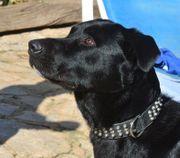 TROY Pastor Mallorquin - Familienhund sehr