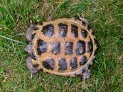 Weibliche Steppenschildkröten Testudo Horsfieldii