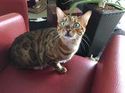 Bengal Katzen Pärchen WIEDER AKTUELL