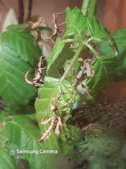 Australische Gespenstschrecken Extatosoma tiaratum Jungtiere