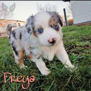 Mini Aussie Freya