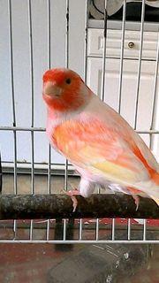 Kanarienvögel aus Hobbyzucht abzugeben