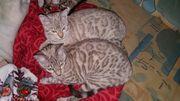 Bengalkatzen mit Stammbaum