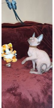 Sphynx Kitten Kanadische
