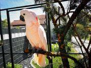 Kakadu Gesucht Jung Tier