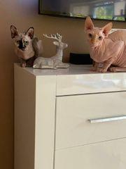 Sphynx Kitten Wurf-Ankündug