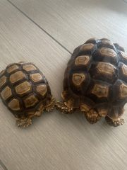 Spornschildkröten von 2018