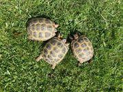 Russische Vierzehen Schildkröten NZ 2015