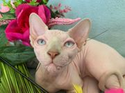 Sphynx Mädchen mit blauen Augen